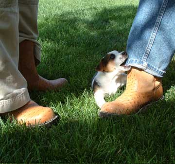 Puppy pulling on jeans leg